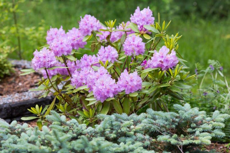 Het bloeien van rododendrons & x28; ook geroepen alpiene roses& x29; in de tuin royalty-vrije stock fotografie