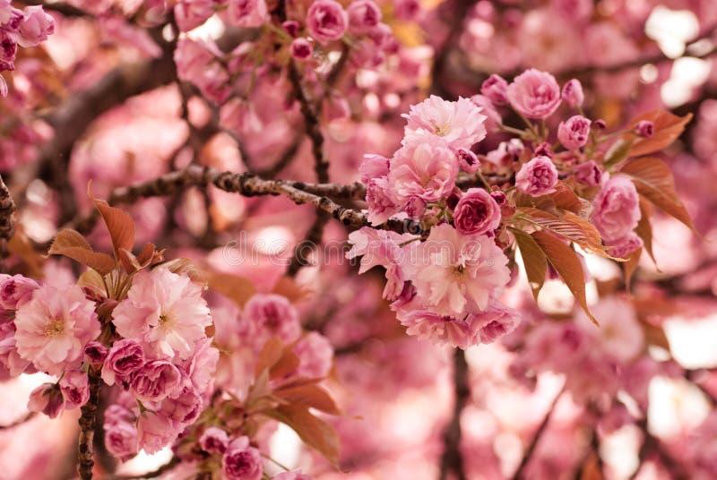 Het bloeien van Sakura royalty-vrije stock afbeeldingen