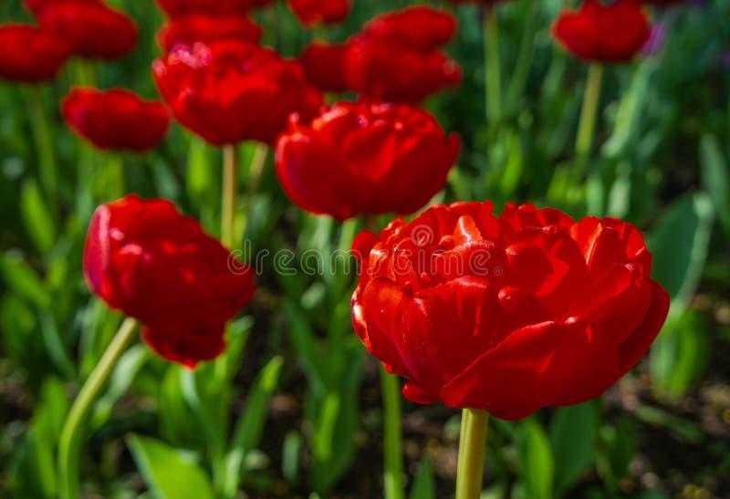Het bloeien van tulpen in stadspark stock afbeeldingen