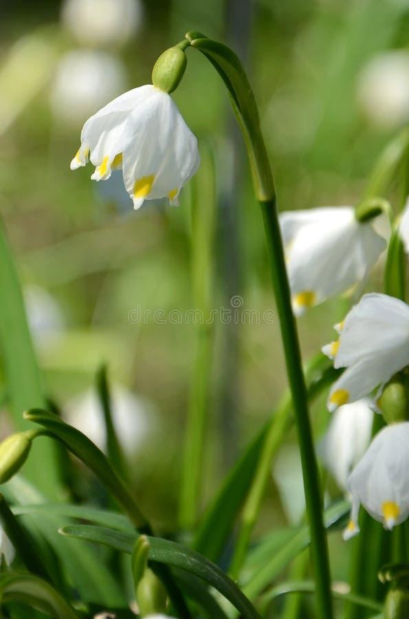 Het bloeien van witte de lentebloemen royalty-vrije stock foto