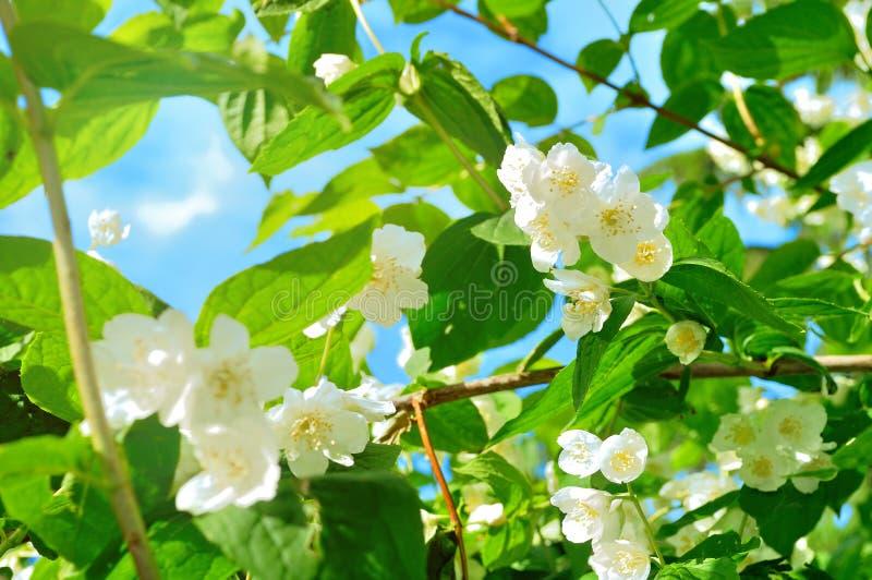 Het bloeien van witte jasmijn bloeit in de tuin stock afbeeldingen