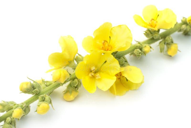 Het bloeien Verbascum thapsus met gele bloemen, grote mullein of gemeenschappelijke die mullein, op witte achtergrond wordt geïso stock fotografie