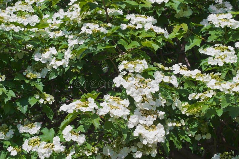 Het bloeien viburnum royalty-vrije stock afbeeldingen