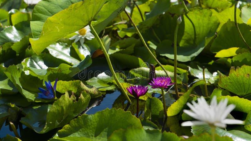 Het bloeien waterlilies in de vijver bij daglicht royalty-vrije stock afbeeldingen