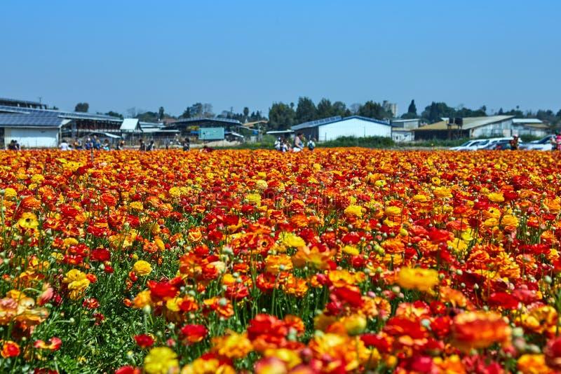 Het bloeien wildflowers, kleurrijke boterbloemen op een kibboets in zuidelijk Isra?l stock foto