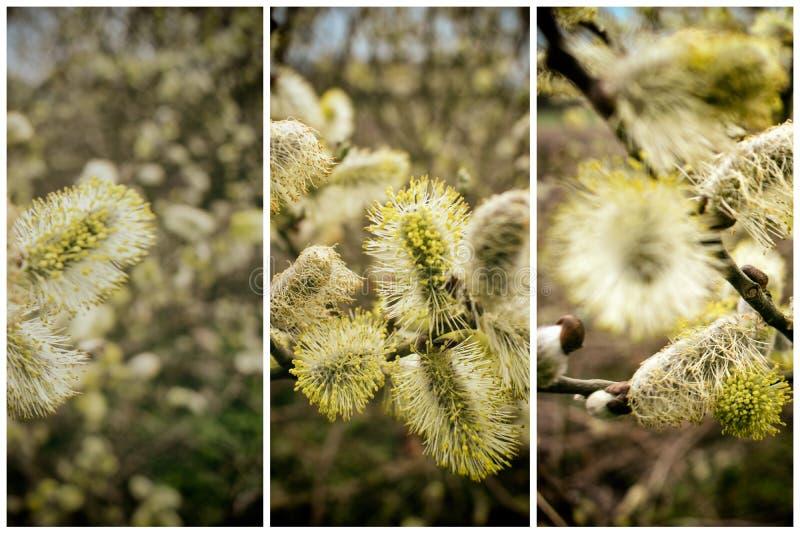 Het bloeien Willow Catkins Branch Collection royalty-vrije stock afbeelding
