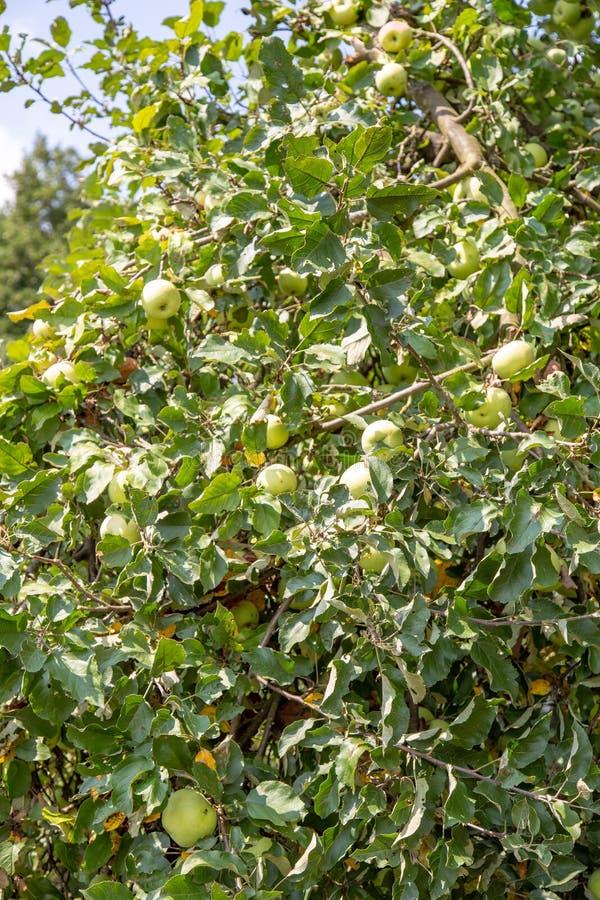 Het bloeiende groene hof van de appelboomgaard royalty-vrije stock foto