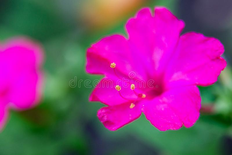Het bloembed met purpere petunia, Kleurrijke purper-rode dichte omhooggaand van de petuniabloem, Petuniabloemen bloeit, petuniabl stock fotografie