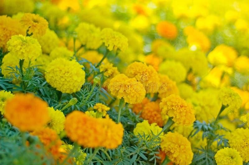 Het Bloembed van de goudsbloem stock afbeeldingen