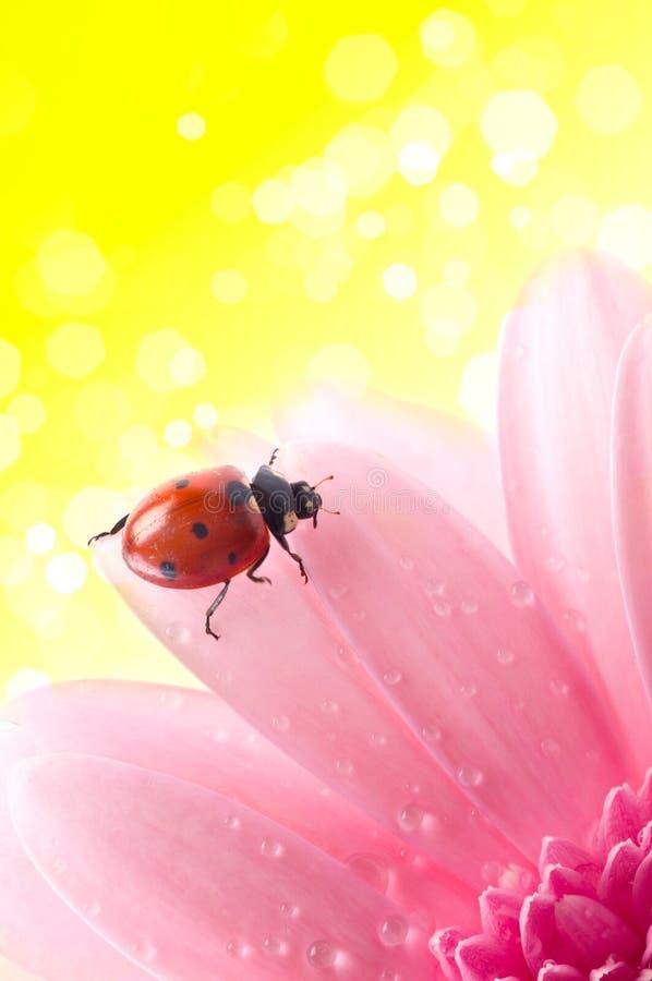 Download Het Bloemblaadje Van De Bloem Met Dameinsect Stock Foto - Afbeelding bestaande uit spring, macro: 10779138
