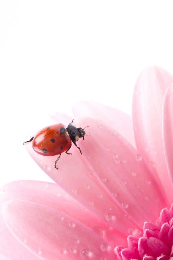 Download Het Bloemblaadje Van De Bloem Met Dameinsect Stock Foto - Afbeelding bestaande uit schoonheid, rood: 10779194