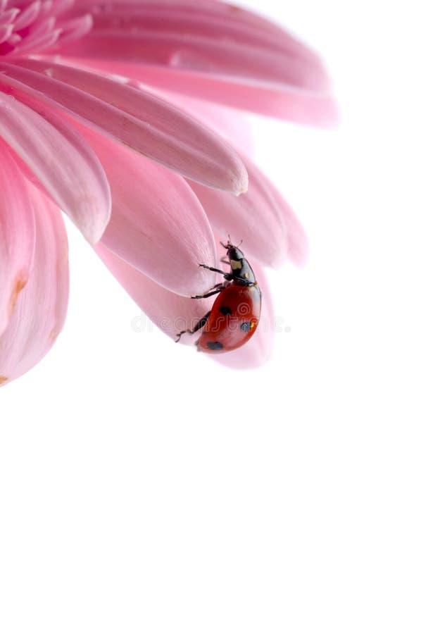 Het bloemblaadje van de bloem met lieveheersbeestje stock fotografie