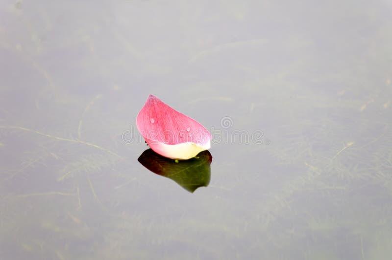 Het bloemblaadje van Lotus over water stock fotografie