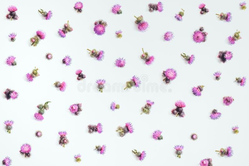 Het bloemendiepatroon van roze distel ` s wordt gemaakt bloeit met doornen op witte achtergrond Vlak leg, hoogste mening, royalty-vrije stock fotografie