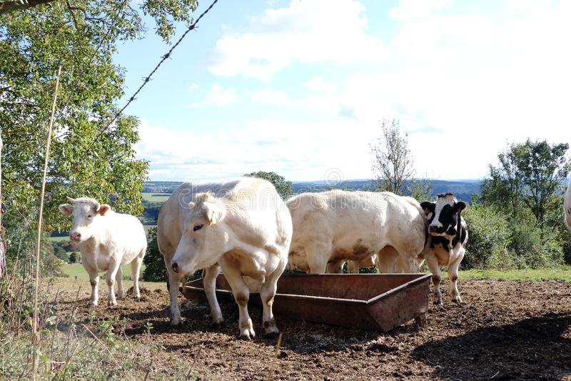 Het Blonde Aquitaine van het koeien drinkwater royalty-vrije stock fotografie