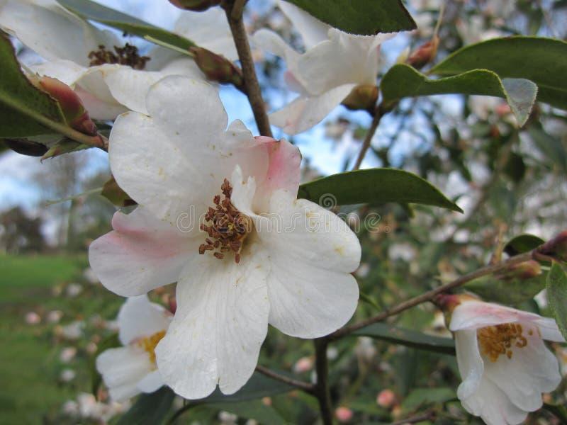 Het blozen Magnolia royalty-vrije stock afbeeldingen