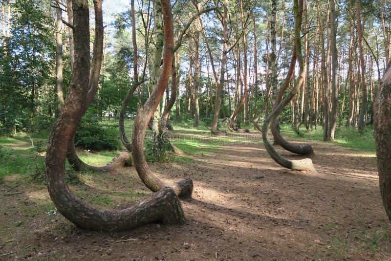 Het bochtige bos, Krzywy Las, Nowe Czarnowo royalty-vrije stock afbeeldingen