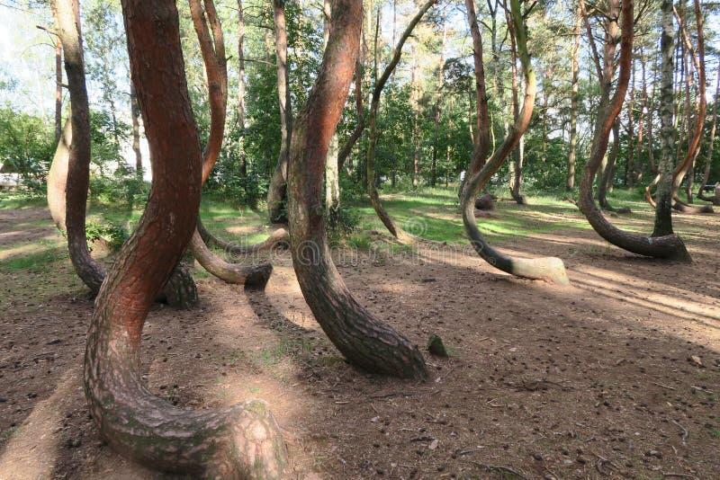 Het bochtige bos, Krzywy Las, Nowe Czarnowo, Polen royalty-vrije stock foto