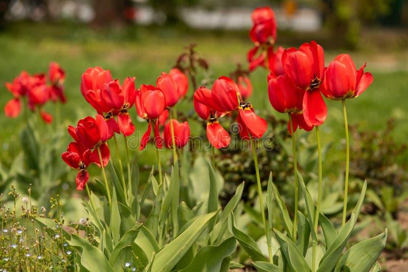 Het boeket van gesneriana van tulpentulipa schoot in het park tijdens dagtijd met natuurlijk licht stock afbeelding