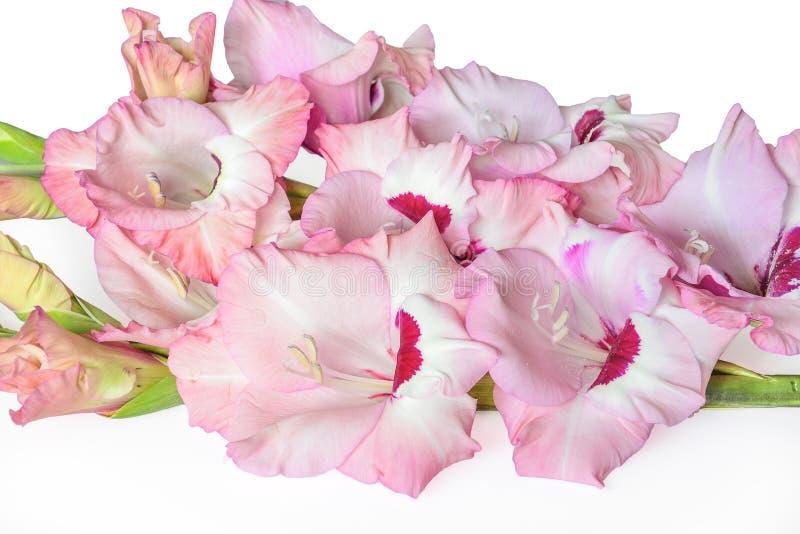 Het boeket van zachte roze gladiolen bloeit dicht omhoog, geïsoleerd op a royalty-vrije stock afbeelding