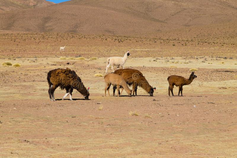 Het Boliviaanse lamafokken, Bolivi? royalty-vrije stock afbeeldingen