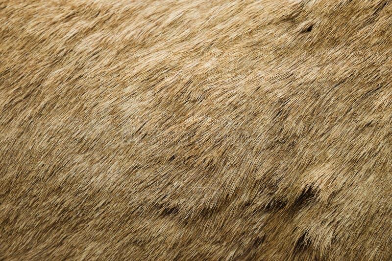 Het Bont van Bighornschapen royalty-vrije stock foto's