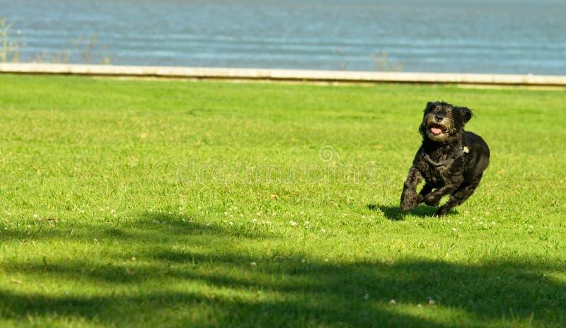 Het bont zwarte hond lopen royalty-vrije stock foto