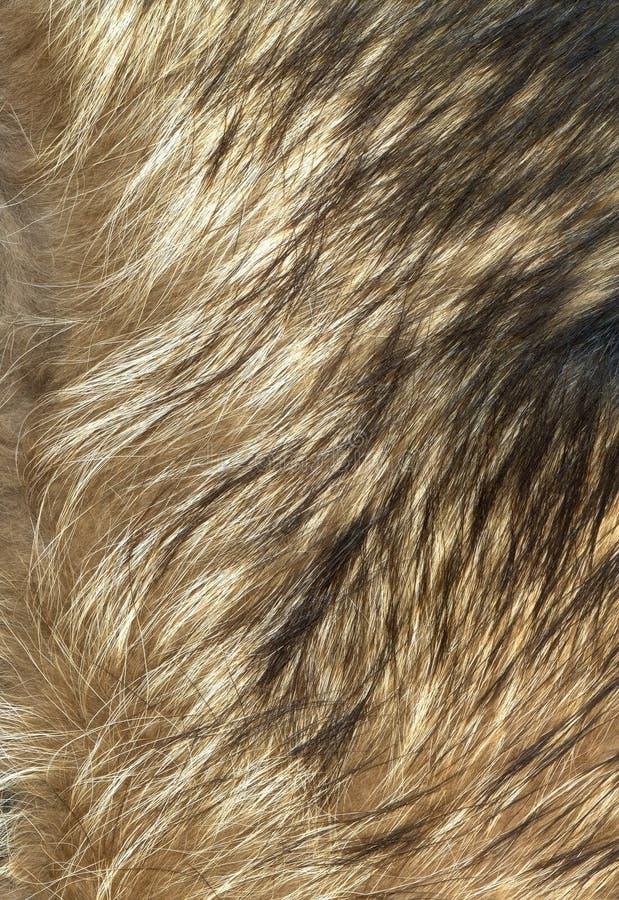 Het bonttextuur van de wolf aan achtergrond stock afbeelding