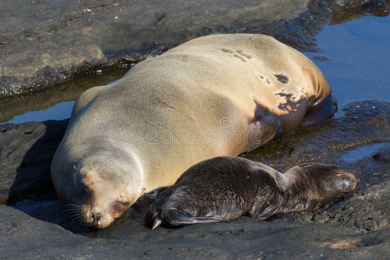Het Bontverbinding en welp van de Galapagos stock afbeelding