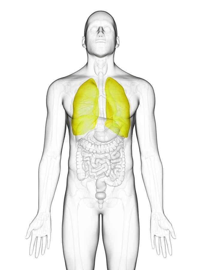 Het borstvlies vector illustratie