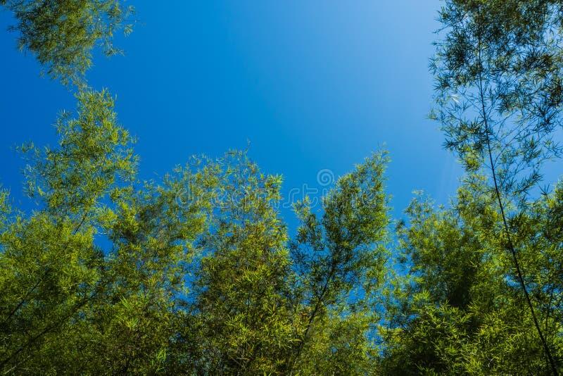 Het bos van het bamboe met blauwe hemel stock afbeeldingen