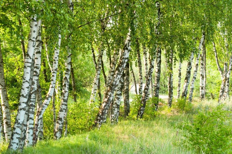 Het bos van berkbomen stock afbeeldingen