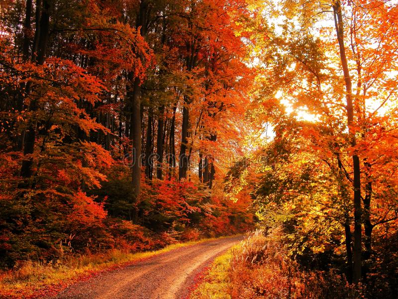Het bos van beukbomen bij de herfst/dalingsdaglicht royalty-vrije stock afbeeldingen