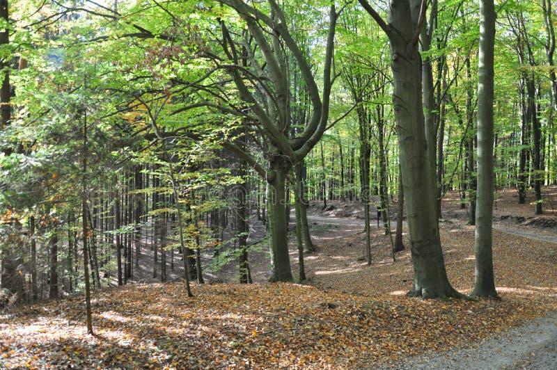 Het bos van beukbomen bij de herfst/dalingsdaglicht royalty-vrije stock fotografie