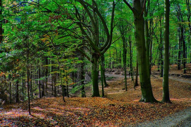 Het bos van beukbomen bij de herfst/dalingsdaglicht stock fotografie