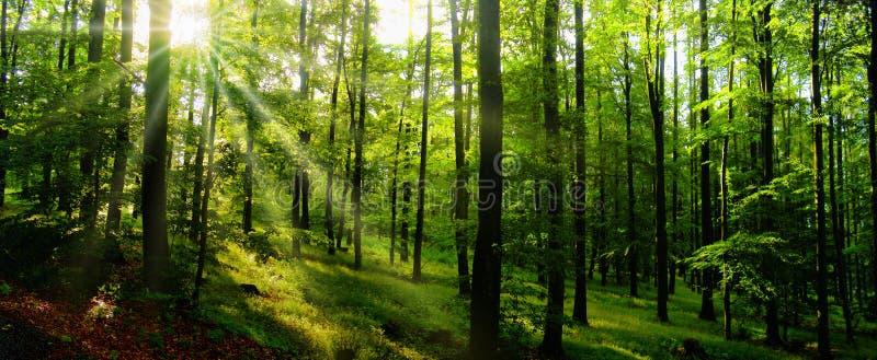Het bos van beukbomen bij de lentedaglicht stock afbeeldingen