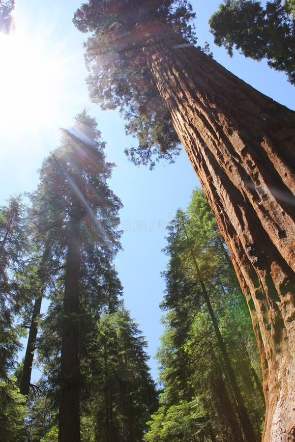 Het bos van Californische sequoia's, Amerika stock afbeeldingen