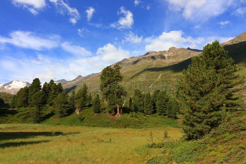 Het bos van de Arollapijnboom dichtbij Obergurgl, ã-Tztal Alpen in Tirol, Oostenrijk royalty-vrije stock afbeeldingen