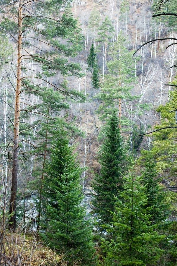 Het bos van de berg. stock afbeeldingen