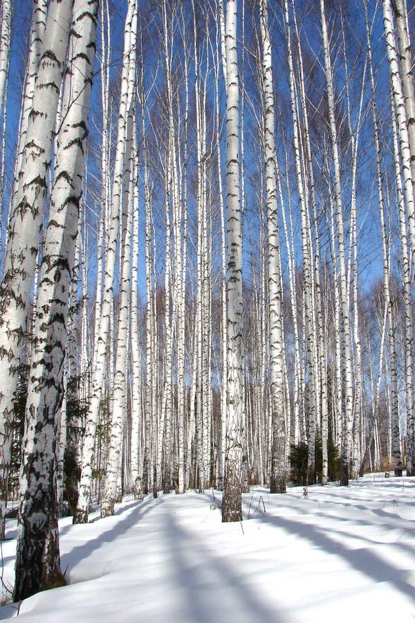 Het bos van de berk royalty-vrije stock afbeeldingen