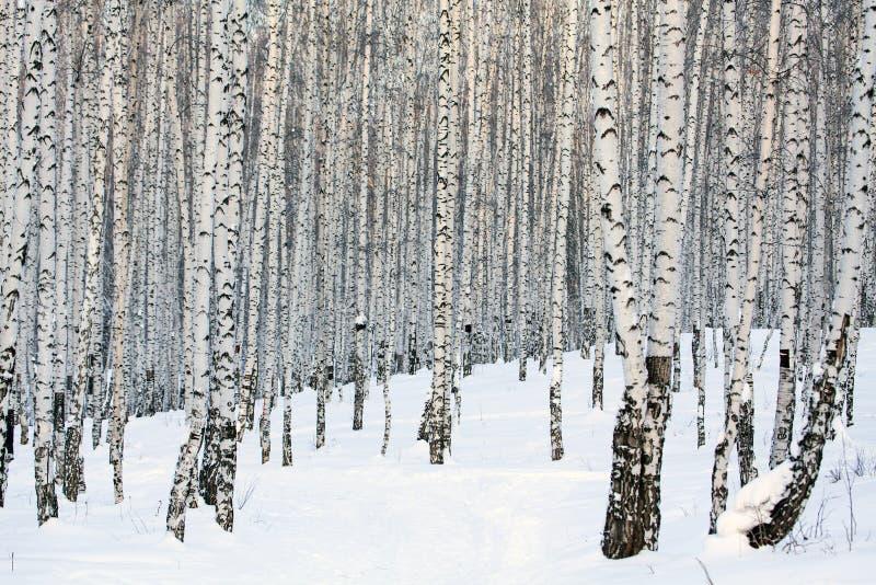 Het bos van de berk royalty-vrije stock afbeelding