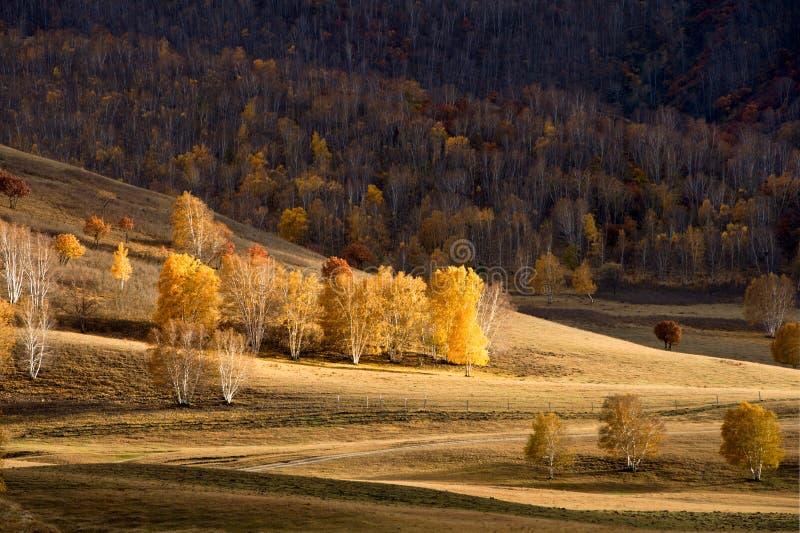 Het bos van de berk in de herfst stock afbeelding