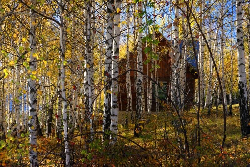 Het bos van de berkboom royalty-vrije stock foto's