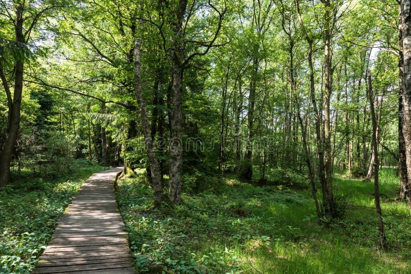 Het bos van de berkboom in de lente bij een moeras royalty-vrije stock afbeeldingen