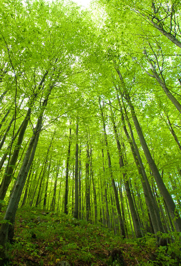 Het bos van de beuk in de lente royalty-vrije stock fotografie