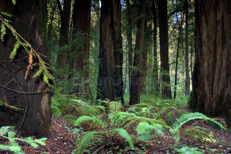 Het bos van de Californische sequoia, Californië stock afbeeldingen