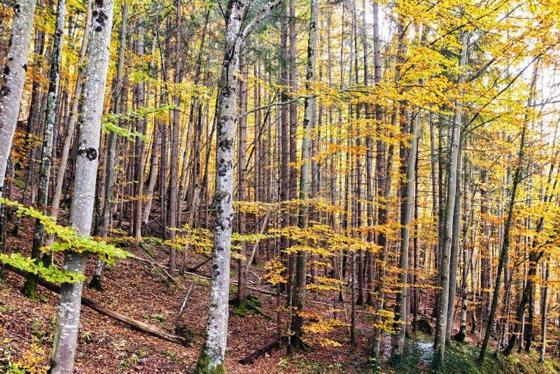 Het bos van de de herfstberk op een berghelling stock foto