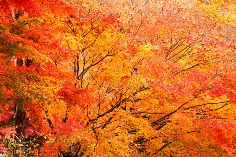 Het bos van de de herfstesdoorn stock afbeeldingen
