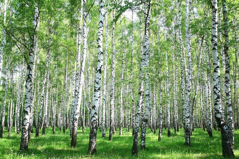 Het bos van de de lenteberk stock afbeeldingen