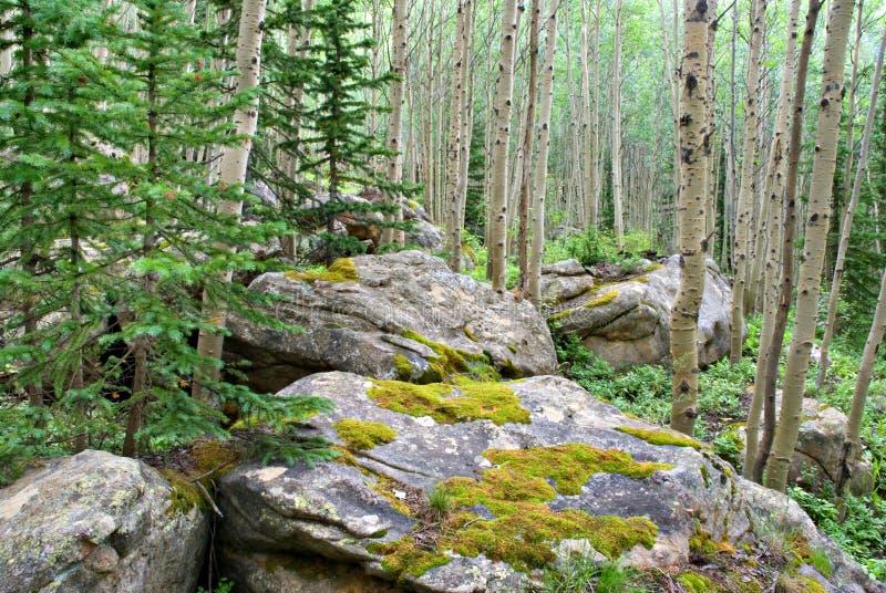 Het Bos van de esp royalty-vrije stock afbeeldingen
